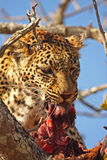Leopard in a tree with kill. In Sabi Sands Reserve Stock Image