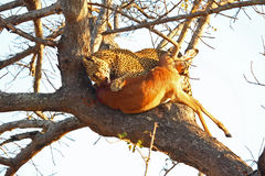 Leopard in a tree with kill Royalty Free Stock Photos