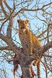 Leopard in a tree with kill. In Sabi Sands Reserve Royalty Free Stock Image