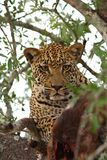 Leopard in a tree with kill Royalty Free Stock Photo