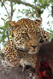 Leopard in a tree with kill Stock Photos