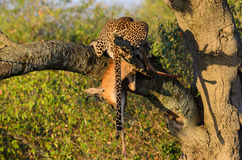 Leopard in tree with kill Stock Photos