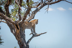 Leopard in a tree in the Kruger National Park, South Africa. Stock Photography