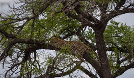 Leopard in a tree, Kruger Park, South Africa Stock Images