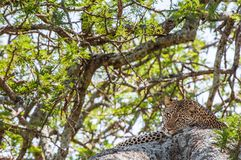 Leopard on a tree. The leopard hides from solar hot beams on a tree. The leopard (Panthera pardus) Stock Photo