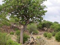 Leopard on the tree. Tarangiri safari - Ngorongoro in Africa, beautiful view of Africa, beautiful animal, full leopard, sodenaya carcass safari in jeeps in stock image