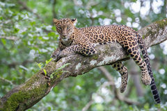 Leopard on a tree and looking at camera Royalty Free Stock Images