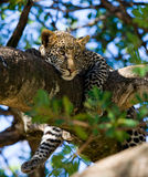 Leopard on a tree. National Park. Kenya. Tanzania. Maasai Mara. Serengeti. Stock Photography