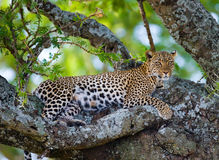 Leopard on the tree. National Park. Kenya. Tanzania. Maasai Mara. Serengeti. Royalty Free Stock Photo