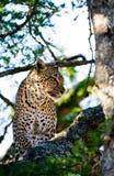 Leopard on the tree. National Park. Kenya. Tanzania. Maasai Mara. Serengeti. Royalty Free Stock Photos