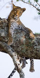 Leopard on the tree. National Park. Kenya. Tanzania. Maasai Mara. Serengeti. An excellent illustration stock photography