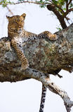 Leopard on the tree. National Park. Kenya. Tanzania. Maasai Mara. Serengeti. Stock Photography