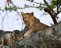 Leopard on the tree. National Park. Kenya. Tanzania. Maasai Mara. Serengeti. Stock Photo
