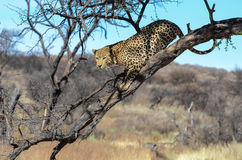 Leopard in tree near windhoek Namibia Stock Photo