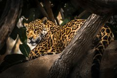And a leopard in a tree overlooking the surrounding area royalty free stock photography