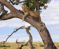 Leopard in a tree Royalty Free Stock Image