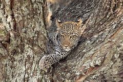 Leopard on a tree. Portrait of a leopard (Panthera pardus) resting on a tree in Serengeti National Park, Tanzania Royalty Free Stock Photo