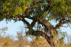 Leopard in tree resting next to the remains of his kill royalty free stock photo