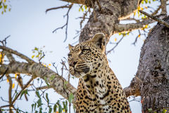Leopard in a tree in the Sabi Sands. Stock Photos