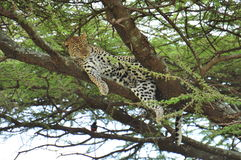 Leopard in a tree in Serengeti National Park Royalty Free Stock Photos