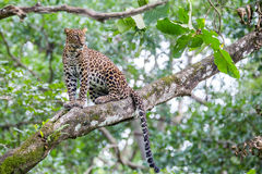 Leopard on a tree sitting majestically on a tree. A beautifull feline sitting on a tree branch stock images