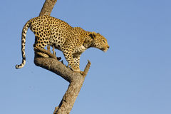 Leopard in tree, South Africa. African Leopard (Panthera pardus) high in a tree in South Africa Royalty Free Stock Image