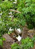 The Sri Lankan leopard Panthera pardus kotiya on the tree. Leopard on a tree. The Sri Lankan leopard Panthera pardus kotiya. Sri Lanka. Yala National Park Royalty Free Stock Image