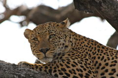 Leopard in tree staring at camera. Kruger,  south africa Stock Photography