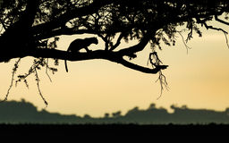 Leopard in tree at sunrise, Serengeti, Tanzania Royalty Free Stock Photos