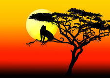 Leopard in tree in sunset. Leopard silhouette in acacia tree in sunset Royalty Free Stock Photos