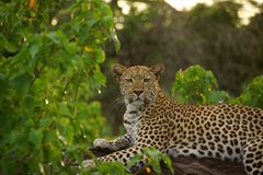 Leopard on a tree. Taken the sun in botswana, africa Stock Photography