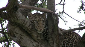 A leopard on the tree stock footage
