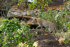Leopard Tsavo Royalty Free Stock Photo
