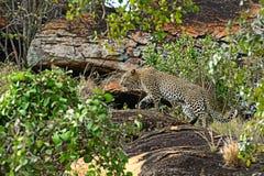 Leopard Tsavo. Leopard on a rock in the Tsavo National Park in Kenya royalty free stock photo