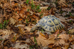 A leopard turtle in the leaves of an oak forest Stock Images