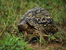 Leopard turtoise im Gras lizenzfreie stockbilder