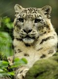 leopard uncia χιονιού Στοκ Φωτογραφίες