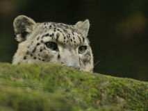 leopard uncia χιονιού Στοκ Εικόνα