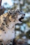 leopard uncia χιονιού panthera Στοκ Φωτογραφίες