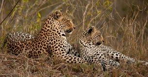 Leopard und Junges Stockfotos