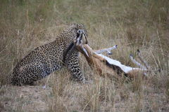 Leopard und seine Tötung Lizenzfreie Stockfotos