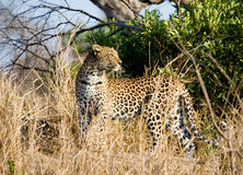 Leopard in the undergrowth. A leopard in South Africa on the move but stopping to look round stock photo