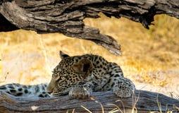 Leopard unter einem Klotz Stockfoto