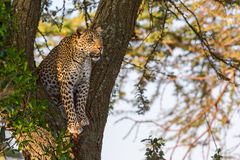 Leopard Up Tree Stock Images