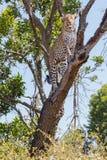 Leopard upp träd royaltyfri foto