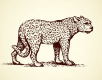 Leopard. Vector illustration. Anxiously powerful young big catamount sneak fierce looking for prey  on white. Freehand outline black ink hand drawn picture Royalty Free Stock Images