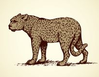 Leopard. Vector illustration. Exotic jungle powerful young large onca fierce looking for prey isolated on white backdrop. Freehand outline black ink hand drawn Royalty Free Stock Photos
