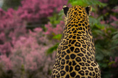 Leopard. A leopard viewing the wildflowers Stock Photos