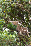 Leopard waiting prey. Ambush. On branch. Masai Mara, Kenya Royalty Free Stock Photos