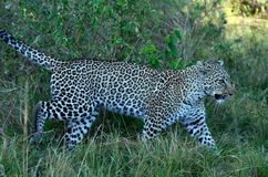Leopard Walk in the Shadows Tom Wurl Royalty Free Stock Photo